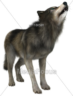 3D Digital Render Of A Wild Wolf Howling Isolated On White Background Stock Photo