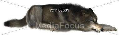 3D Digital Render Of A Wild Wolf Resting Isolated On White Background Stock Photo