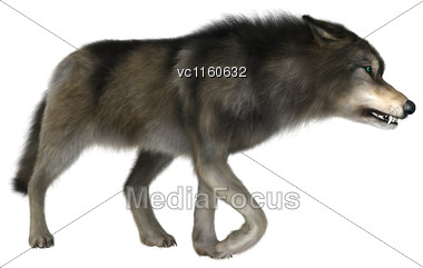 3D Digital Render Of A Wild Wolf Walking Isolated On White Background Stock Photo