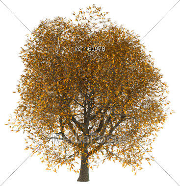 3D Illustration Of An Ash Tree Isolated On White Background Stock Photo