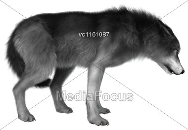 3D Illustration Of A Gray Wolf Isolated On White Background Stock Photo