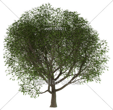 3D Illustration Of A Of A Green Ash Tree Isolated On White Background Stock Photo
