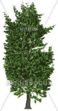 3D Illustration Of A Green Chestnut Tree Isolated On White Background Stock Photo