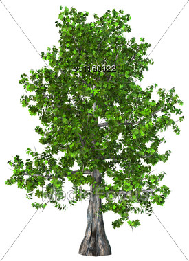 3D Illustration Of A Green Maple Tree Isolated On White Background Stock Photo