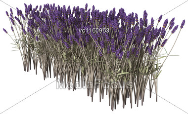 3D Illustration Of Lavender Flowers Isolated On White Background Stock Photo