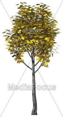 3D Illustration Of A Maple Tree Isolated On White Background Stock Photo