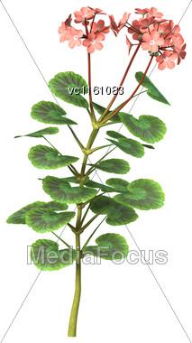 3D Illustration Of Pink Geranium Flowers Isolated On White Background Stock Photo