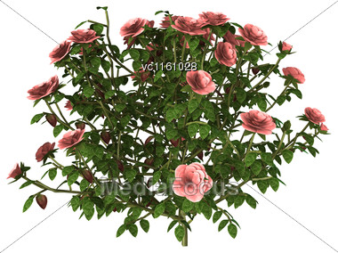 3D Illustration Of A Pink Rose Bush Isolated On White Background Stock Photo
