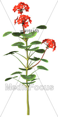 3D Illustration Of Red Geranium Flowers Isolated On White Background Stock Photo