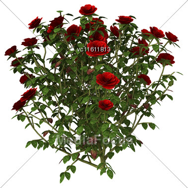 3D Illustration Of A Red Rose Bush Isolated On White Background Stock Photo