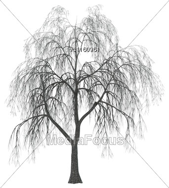 3D Illustration Of A Weeping Willow Or Sallow Or Osier Isolated On White Background Stock Photo