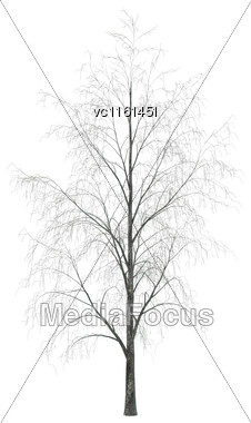 3D Rendering Of A Birch Tree In Winter Isolated On White Background Stock Photo