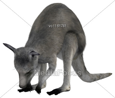 3D Rendering Of An Eastern Grey Kangaroo Or Macropus Giganteus Or Great Grey Kangaroo Isolated On White Background Stock Photo