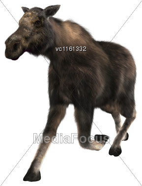 3D Rendering Of A Female Moose Running Isolated On White Background Stock Photo