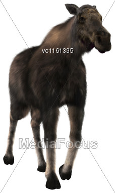 3D Rendering Of A Female Moose Walking Isolated On White Background Stock Photo