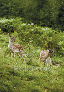 hill wild fawns Stock Photo