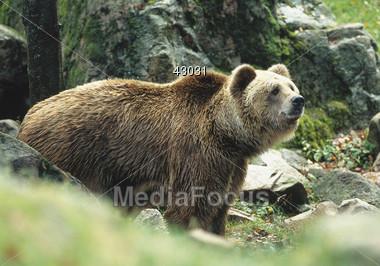 bear grizzly wild Stock Photo