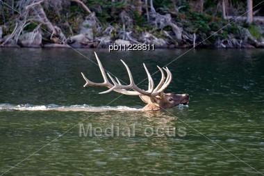 6X6 Bull Elk Swiming In The Loch, Rocky Mountain National Park Stock Photo