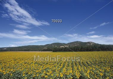nature blooming sunflowers Stock Photo