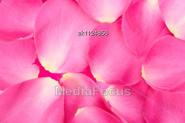 Abstract Background Of Pink Rose Petals. Close-up. Studio Photography Stock Photo