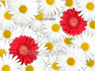Abstract Background Of Red And White Flowers For Your Design. Close-up. Studio Photography. Stock Photo