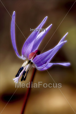 Abstract Close Up Of A Liliacea Wild Violet Erythronium Dens Canis Stock Photo