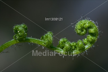 Abstract Flowering Of A Fern Torsion In The Spring Stock Photo