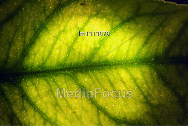 Abstract Macro Close Up Of A Green Leaf And His Veins In The Light Background Stock Photo