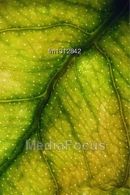 Abstract Macro Close Up Of A Green Yellow Leaf And His Veins In The Light Background Stock Photo