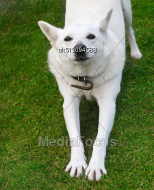 Active Dog On The Grass Stock Photo