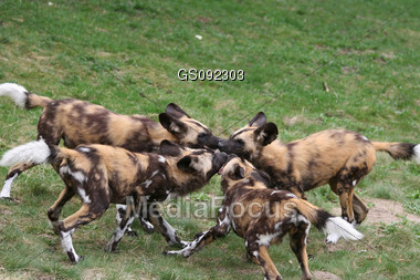 african wild dogs fighting for prey Stock Photo