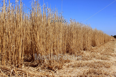 Agricultural Field For An Organic Farming For The Harvest Of The Reed On A Bottom Of Blue Sky Stock Photo