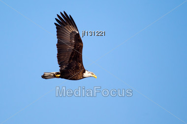 American Bald Eagle Flying Against A Blue Sky Stock Photo