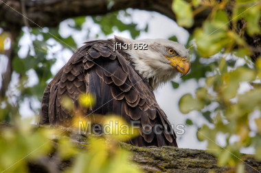 American Bald Eagle Perched In A Tree In HDR High Dynamic Range Stock Photo
