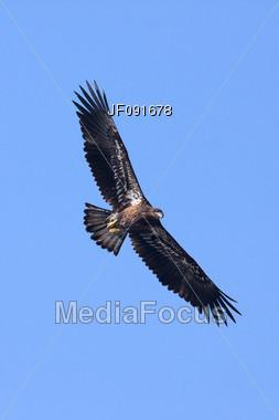 American Bald Eagle Soaring High Stock Photo