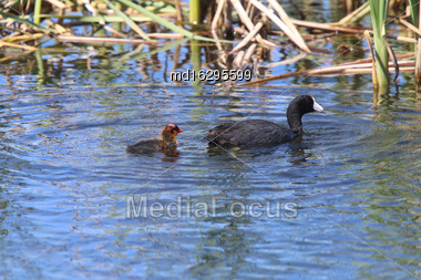 American Coot And Baby Waterhen In Pond Canada Stock Photo