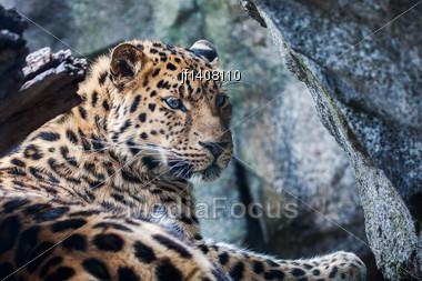 Amur Leopard Falling Asleep On A Rock Stock Photo