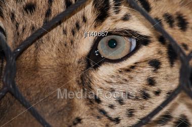 Amur Leopard Looking Through A Fence Ata Zoo Stock Photo
