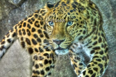 Amur Leopard On The Prowl And Looking Intense In High Dynamic Range Hdr Stock Photo