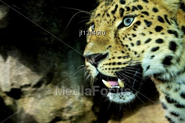 Amur Leopard On The Prowl And Looking Playful In High Dynamic Range Hdr Stock Photo