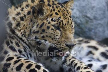Amur Leopard Takes A Break In The Early Afternoon Stock Photo