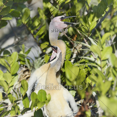 Anhinga Baby Birds In The Nest In Everglages National Park,Florida Stock Photo