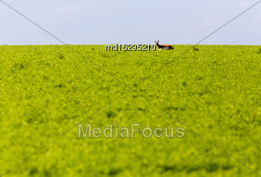 Antelope Stading In Crop In Saskatchewan Canada Stock Photo