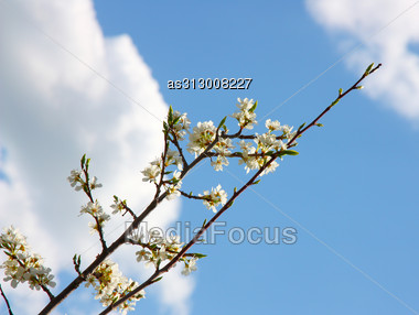 Apple Blossom Close-up. White Flowers Stock Photo