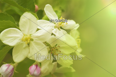 Apple Flowers, Abstract Spring Backgrounds Stock Photo