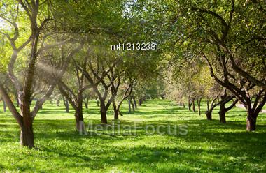 Apple Garden In Sunny Day Stock Photo