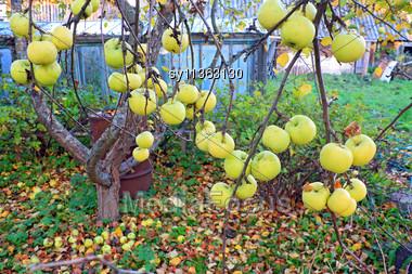 Apple On Branch In Autumn Garden Stock Photo