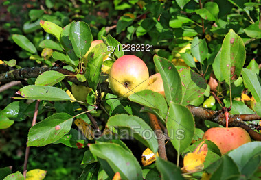 Apple On Branch In Autumn Garden Stock Photo