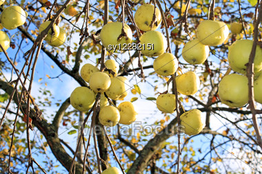 Apple On Branch Of The Aple Trees Stock Photo