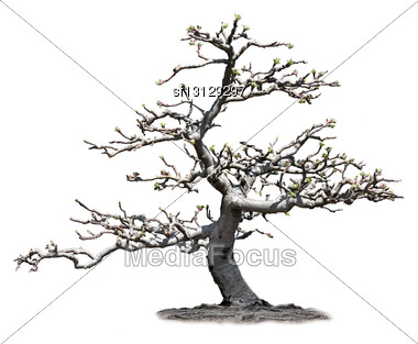 Apple Tree In The Spring Time Stock Photo